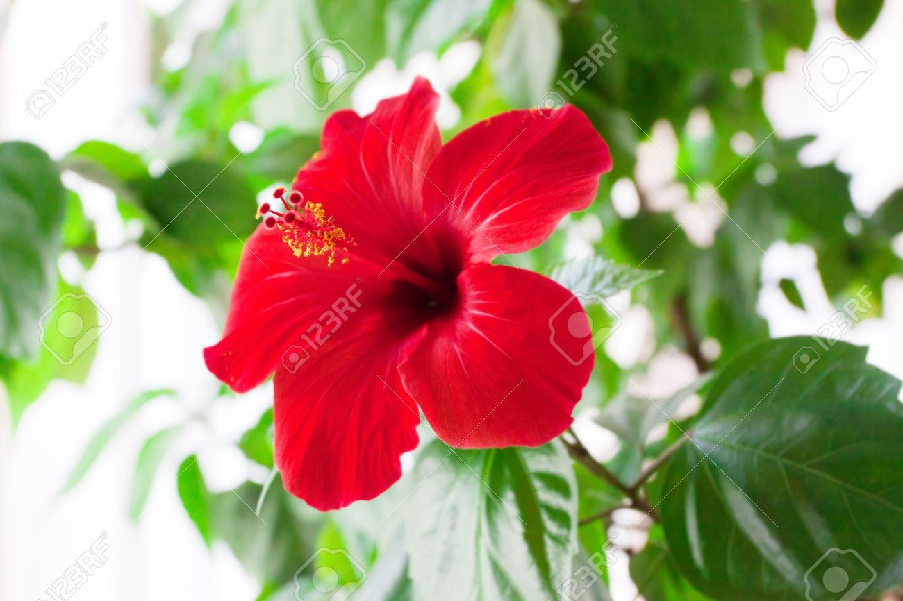 Red Hibiscus Flower Detail Stock Photo Picture And Royalty Free