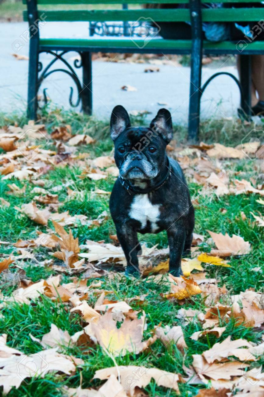 French bulldog in park on walk Stock Photo - 13334416
