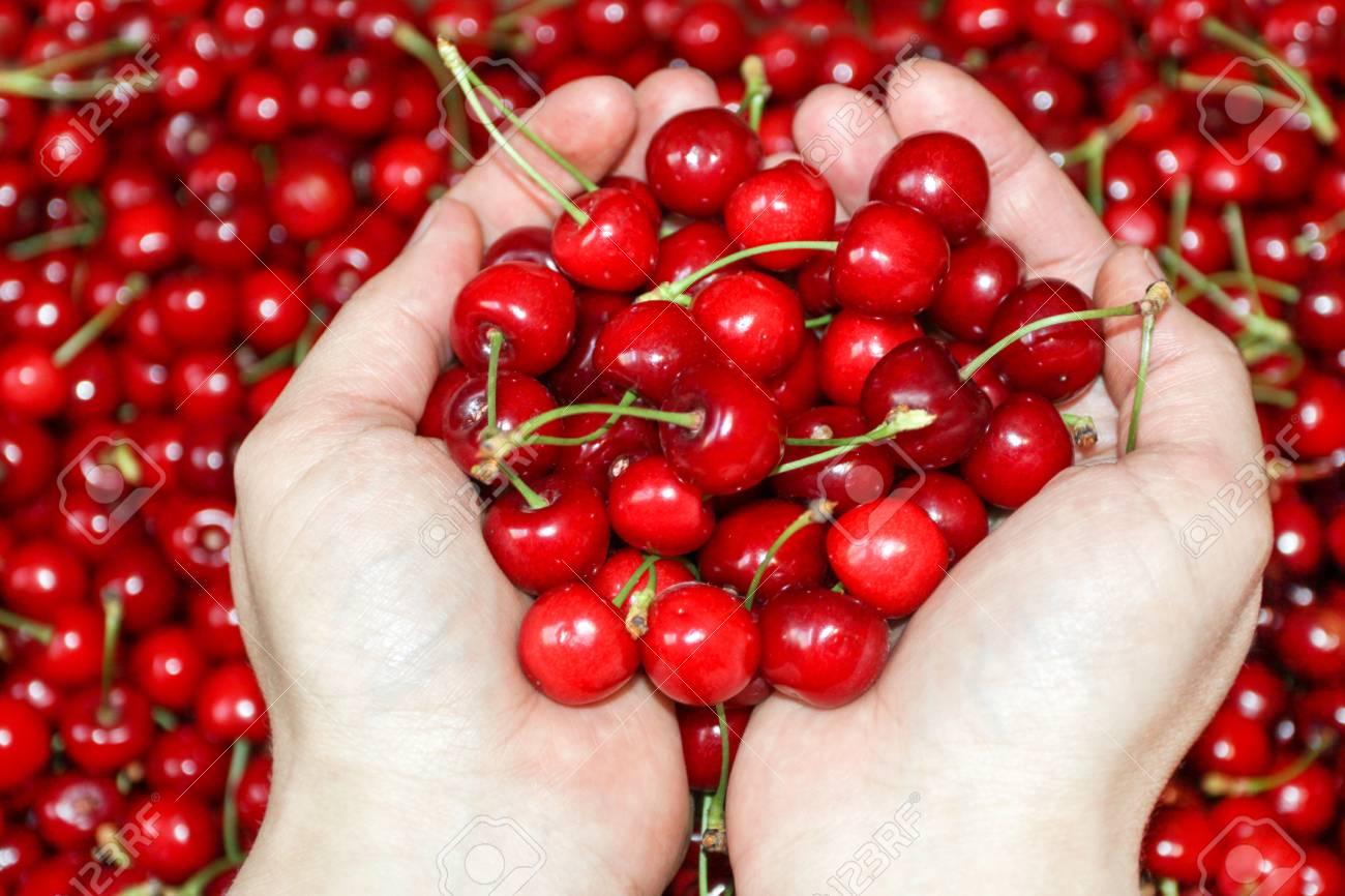 Fresh cherries fruit in hand on sweet cherry background, view