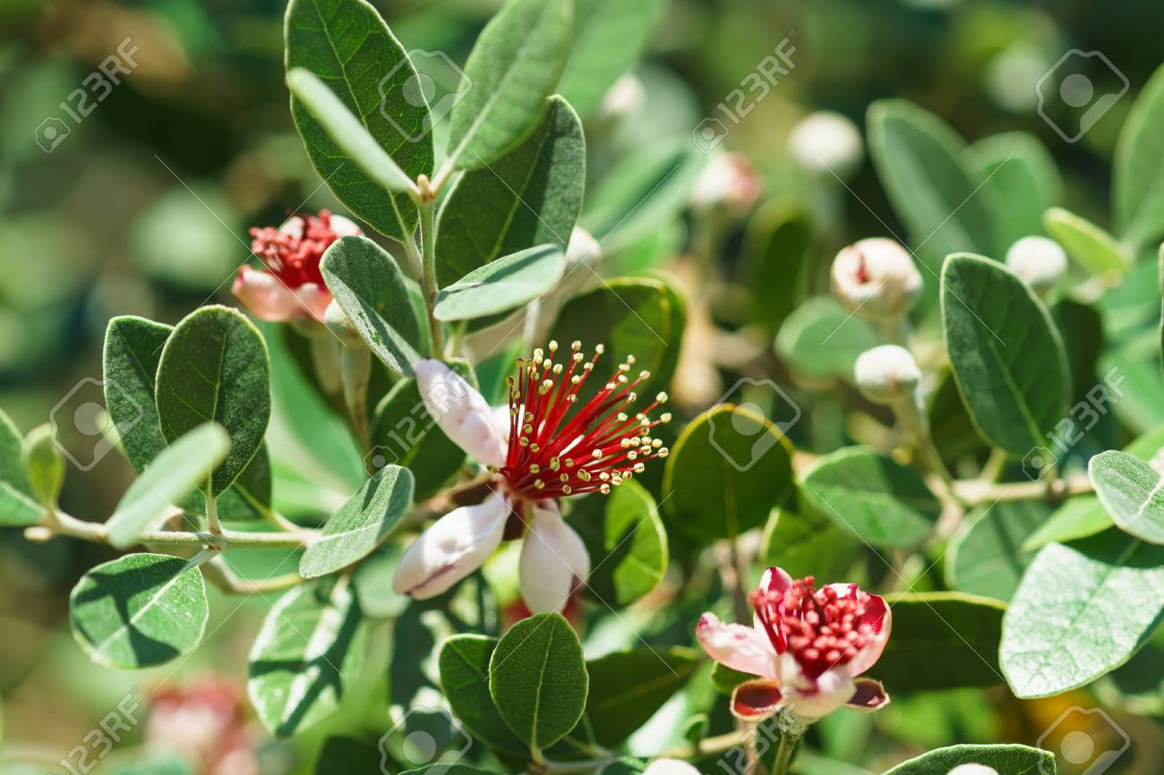 Flowering Feijoa Or Acca Selloff Lat Acca Sellowiana Is A Stock