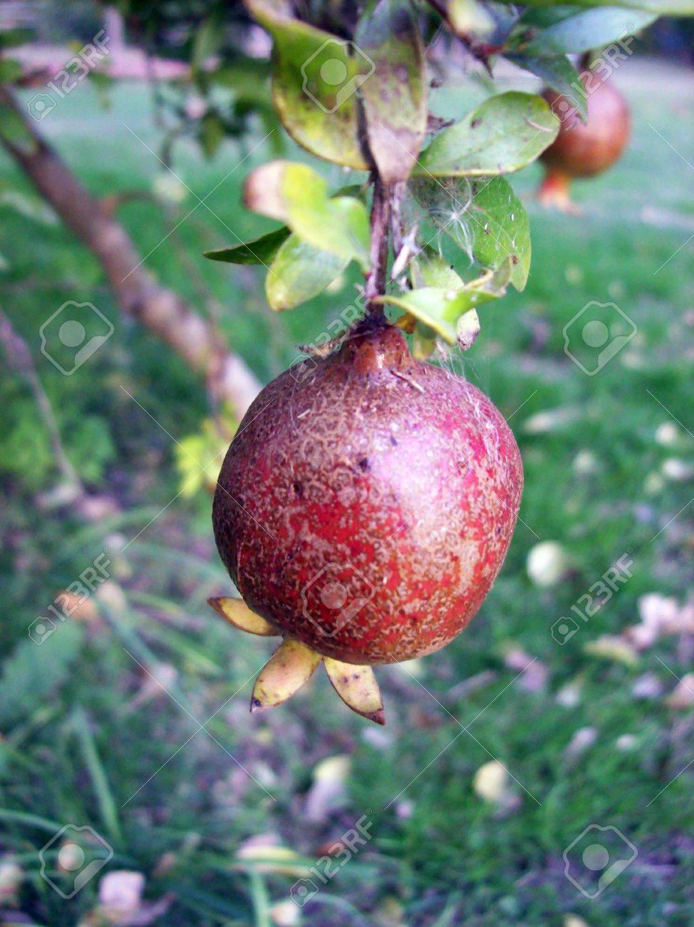 granada red fruit stock photo picture and royalty free image image