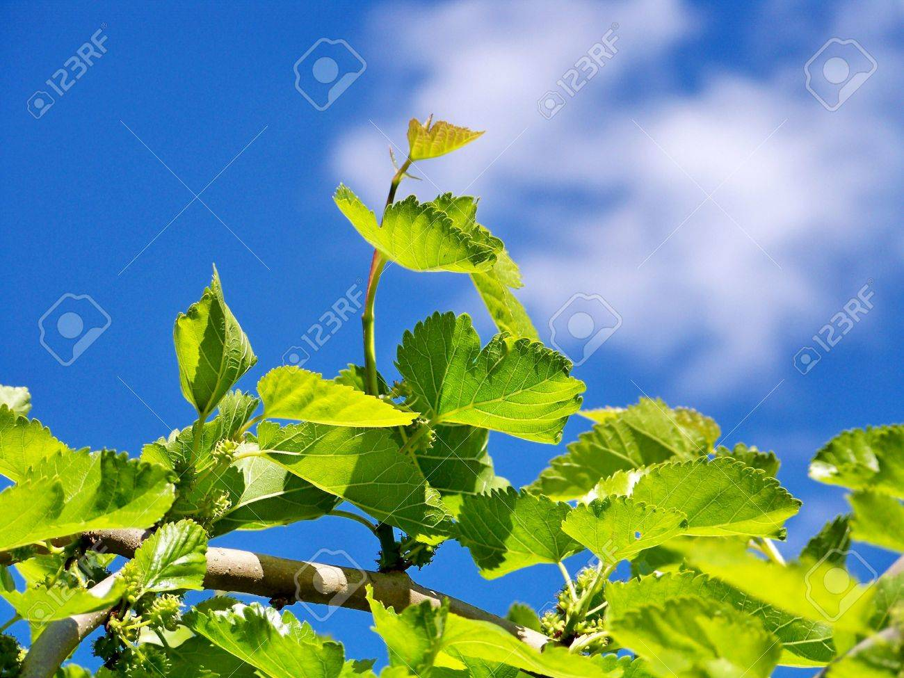 Blackberries plant, cloud and sky Stock Photo - 4815105