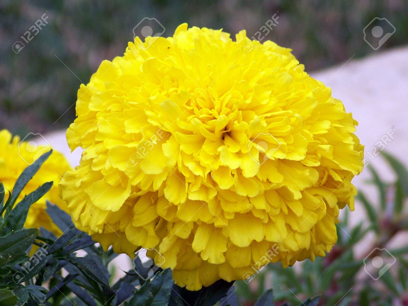 Yellow lion head flower stock photo picture and royalty free image yellow lion head flower mightylinksfo