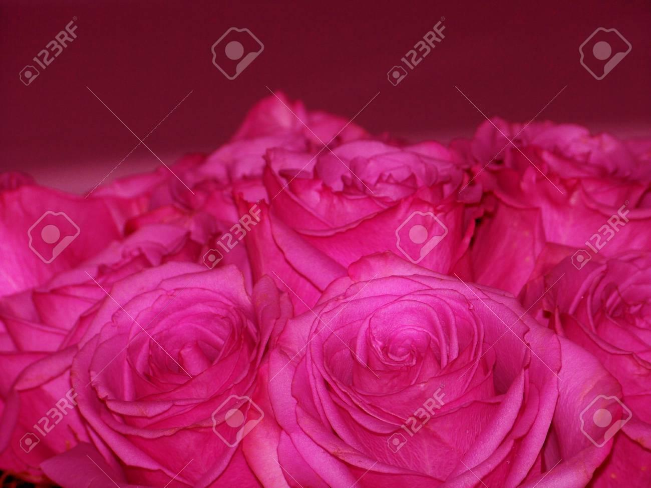 Intense pink roses romantic elegant Valentine Stock Photo - 12126721