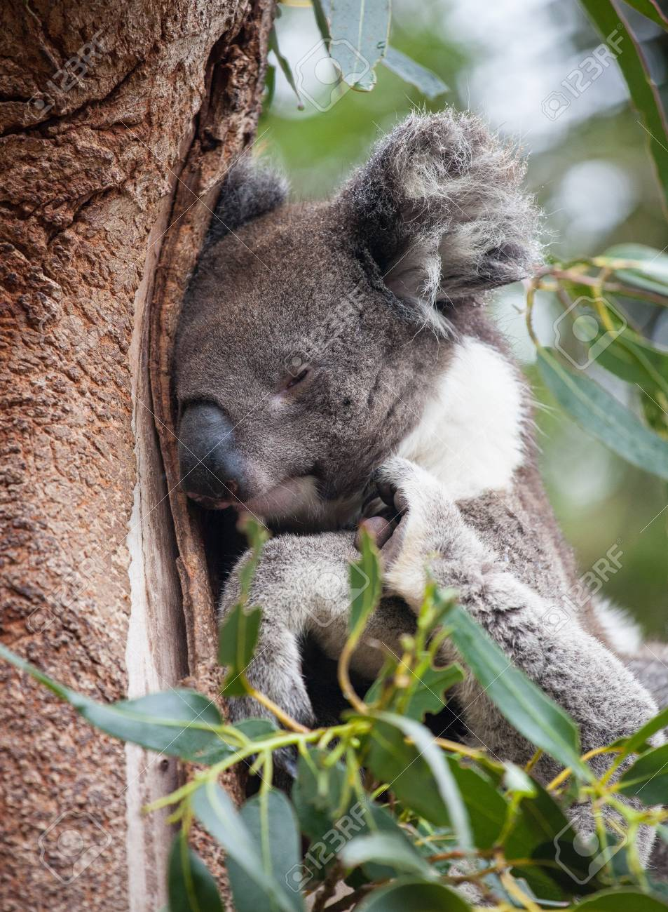 Portrait Cute Australian Koala Bear Sitting And Sleeping In An Stock Photo Picture And Royalty Free Image Image 124955188