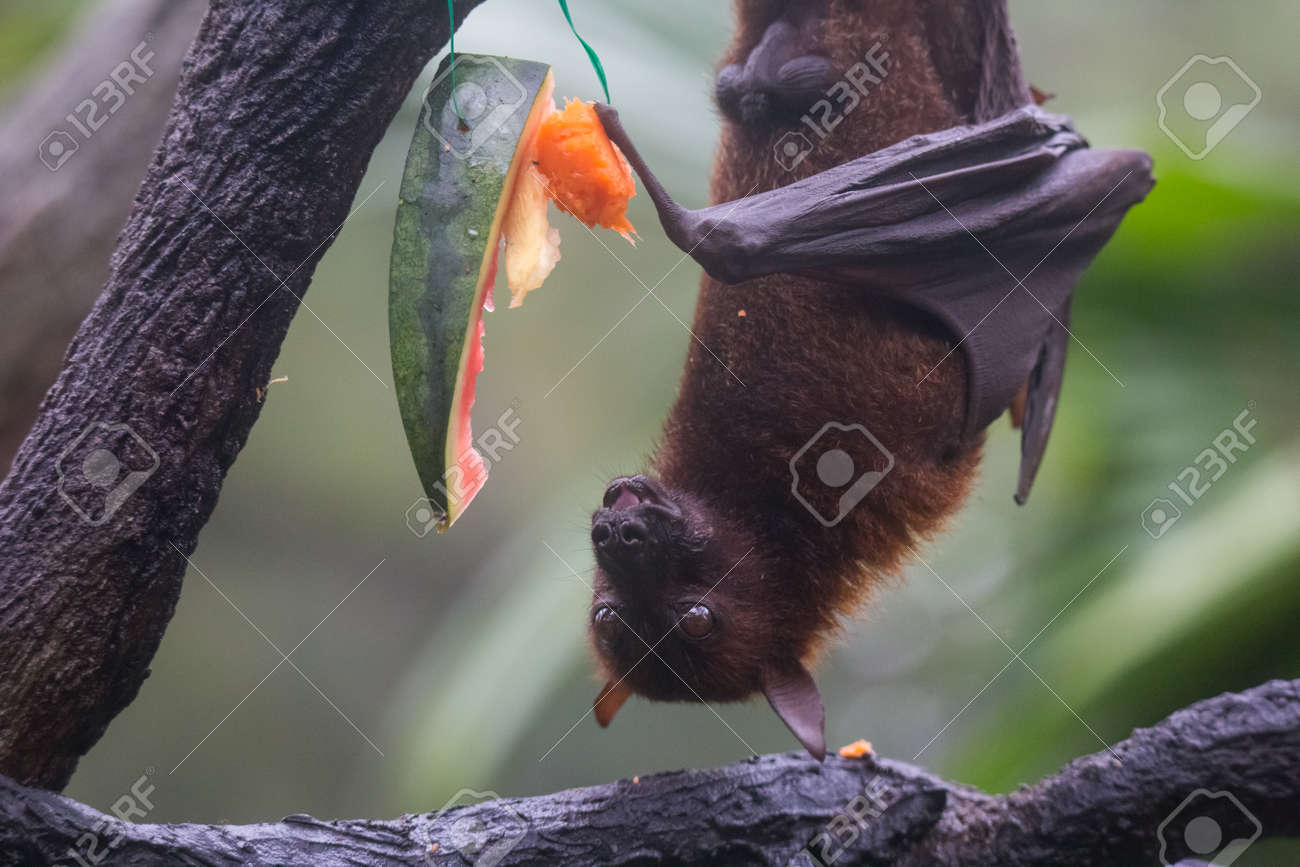 Fruit bat also known as flying fox with big leather wings hanging upside and down eating juicy orange and watermelon - 133499615