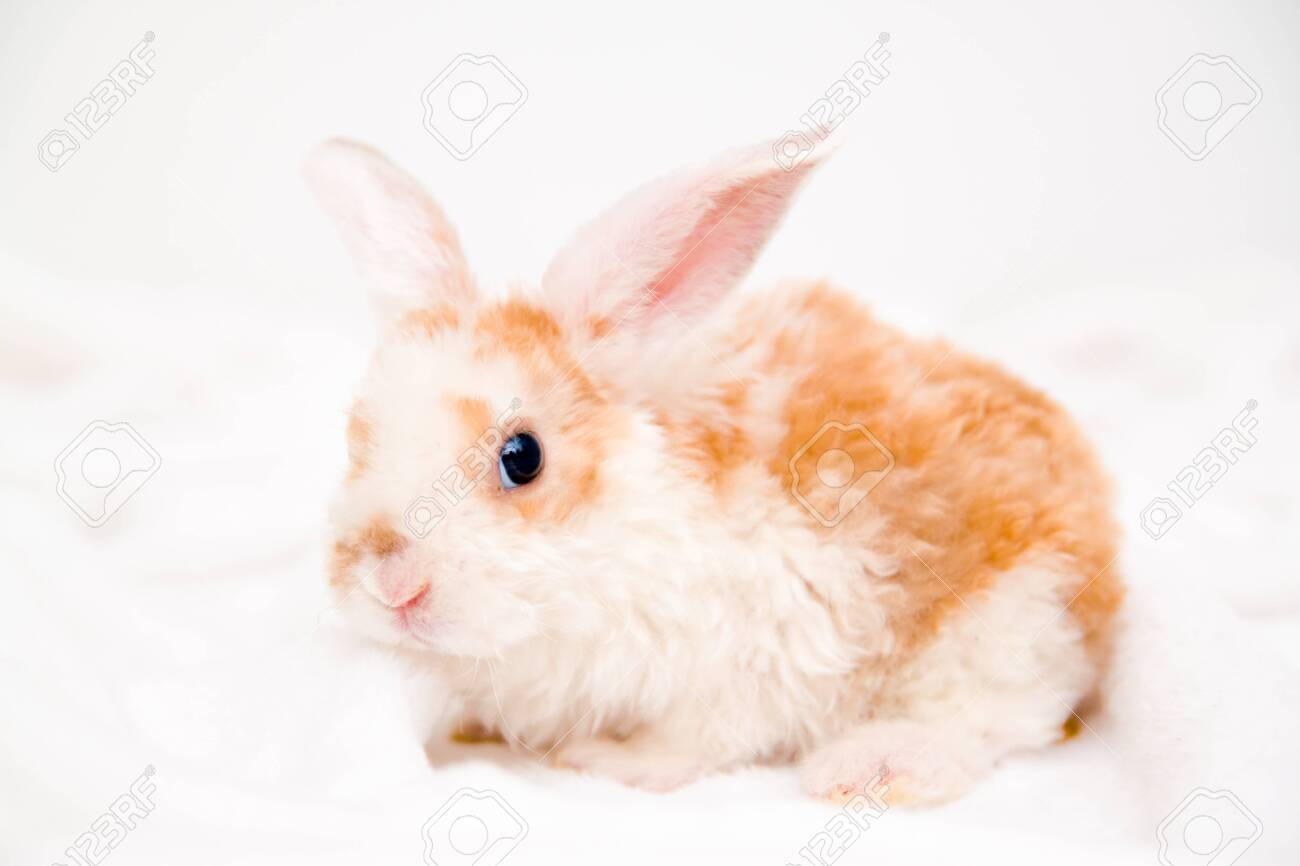Cute little orange and white color bunny with big ears. rabbit on white background. animals and pets concept - 126898975