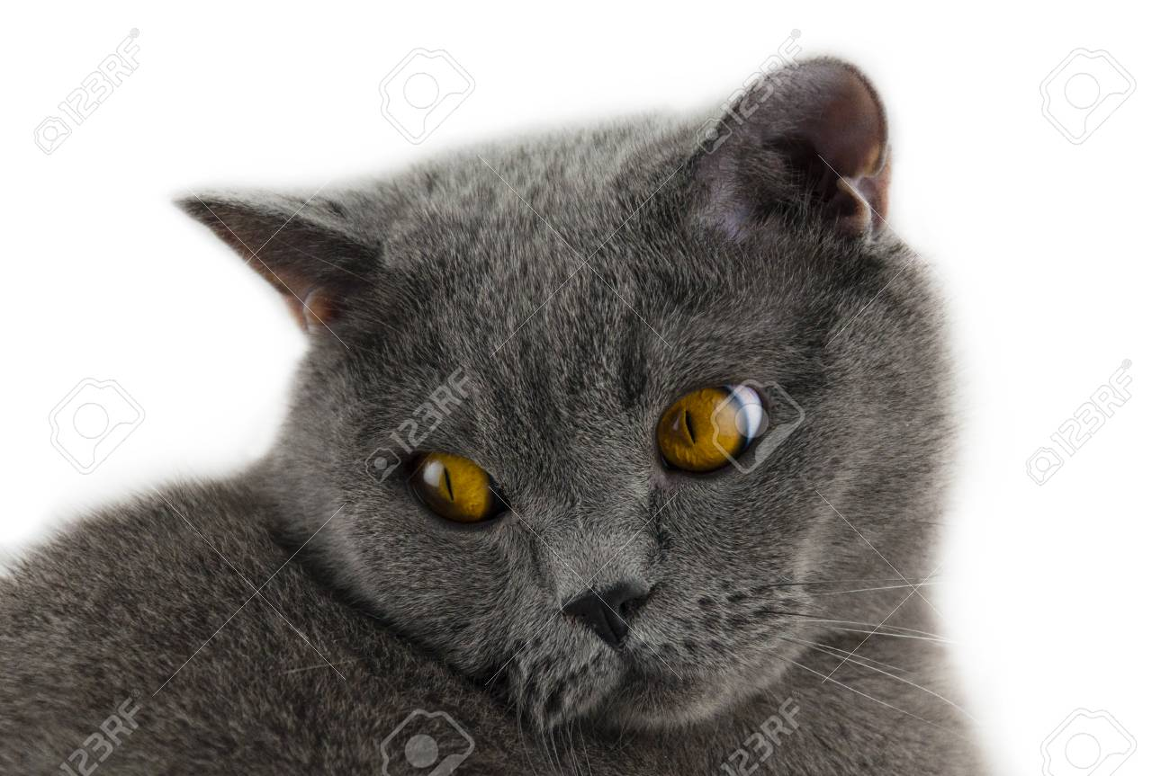 The Cat Of The British Breed Gray Color With Brightly Yellow Stock Photo Picture And Royalty Free Image Image 79441617
