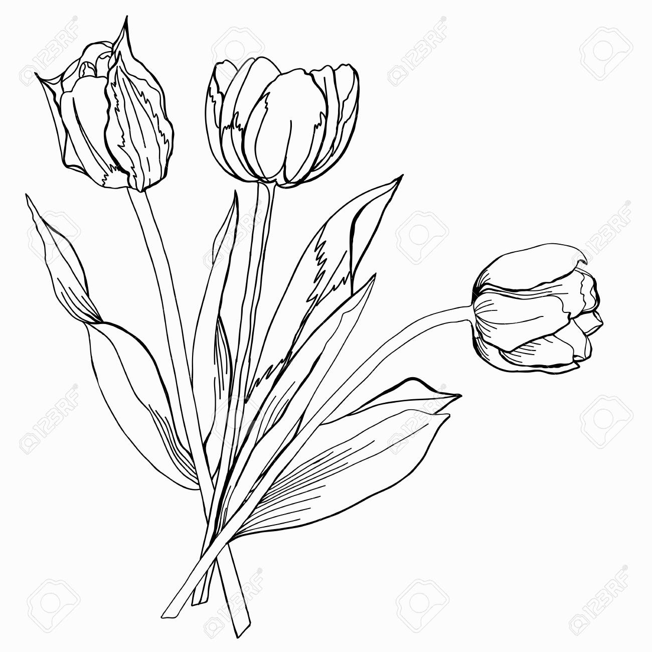 tulip sketch black and white royalty free cliparts vectors and