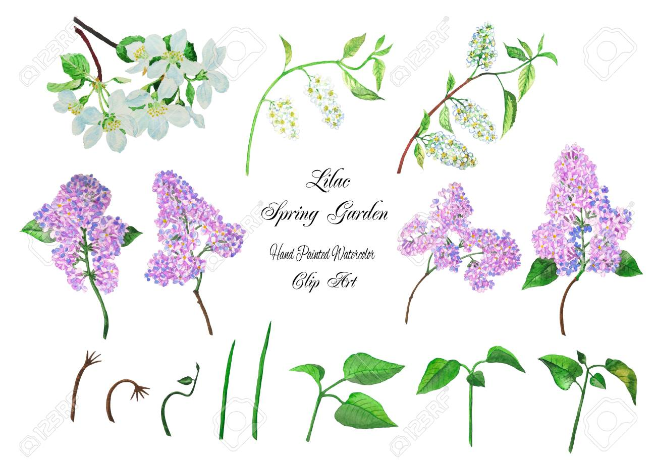 Watercolor Lilacs Clip Art