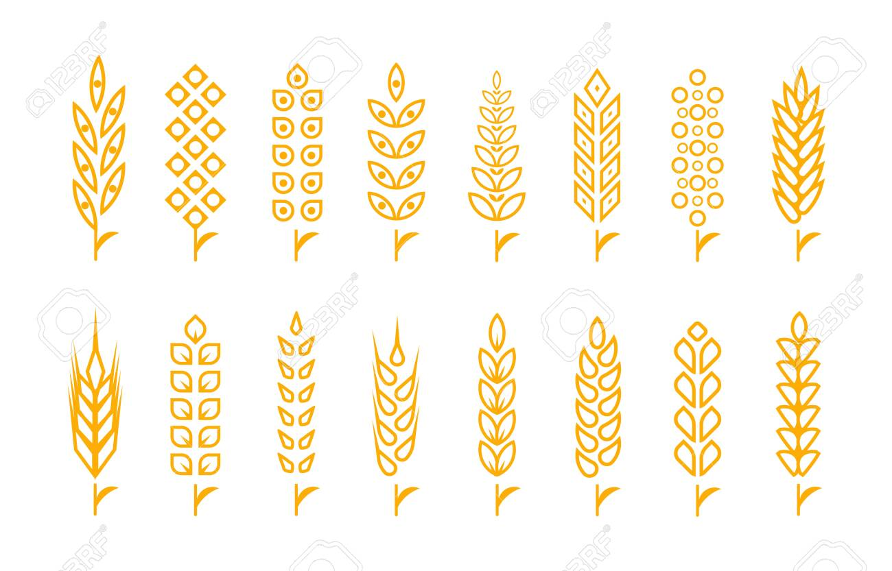 Set of wheat ears object and design elements for beer, organic local farm fresh food, bakery themed design - 152344820