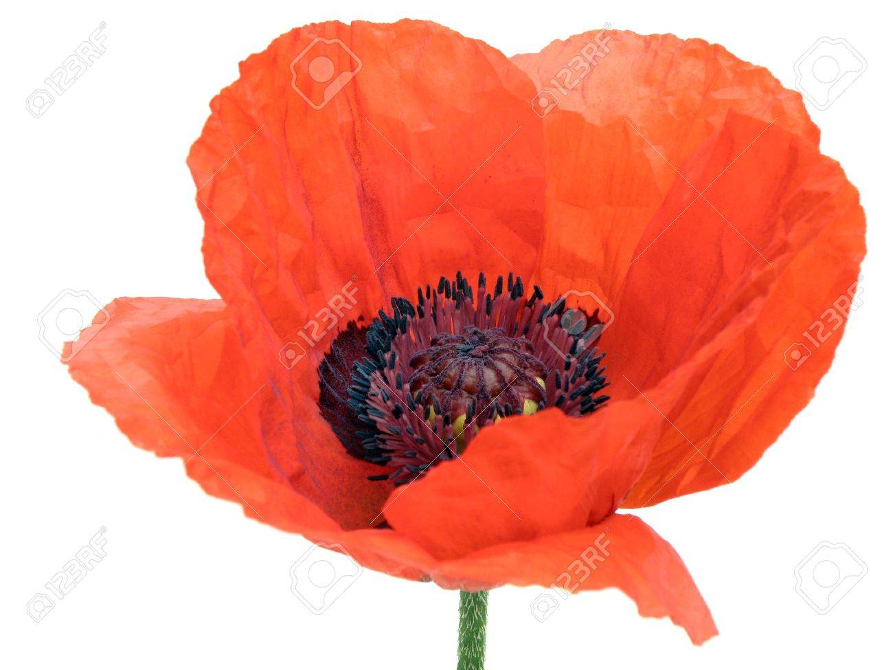 opium poppy stock photos images. royalty free opium poppy images, Beautiful flower