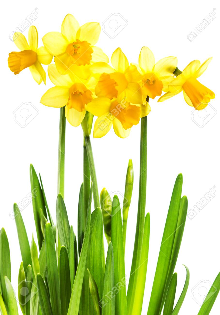 Spring Yellow Flowers With Green Leaves Isolated On White Background