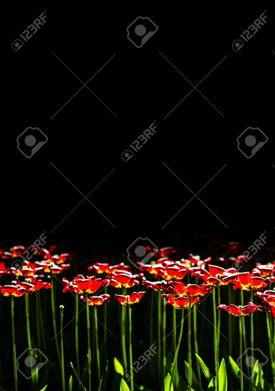 Red Flowers On A Black Background With Copyspace Tulips Wallpaper Stock Photo
