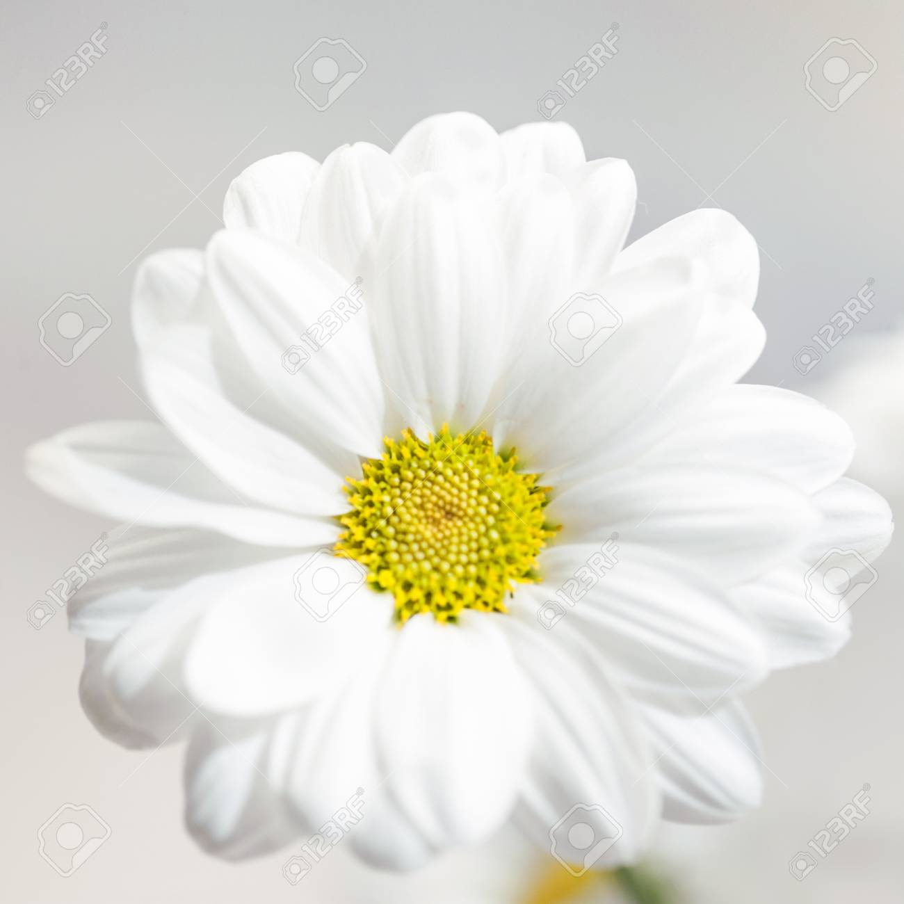 Spring Flowers Wallpaper White Gerbera Flower Or Daisy Flower