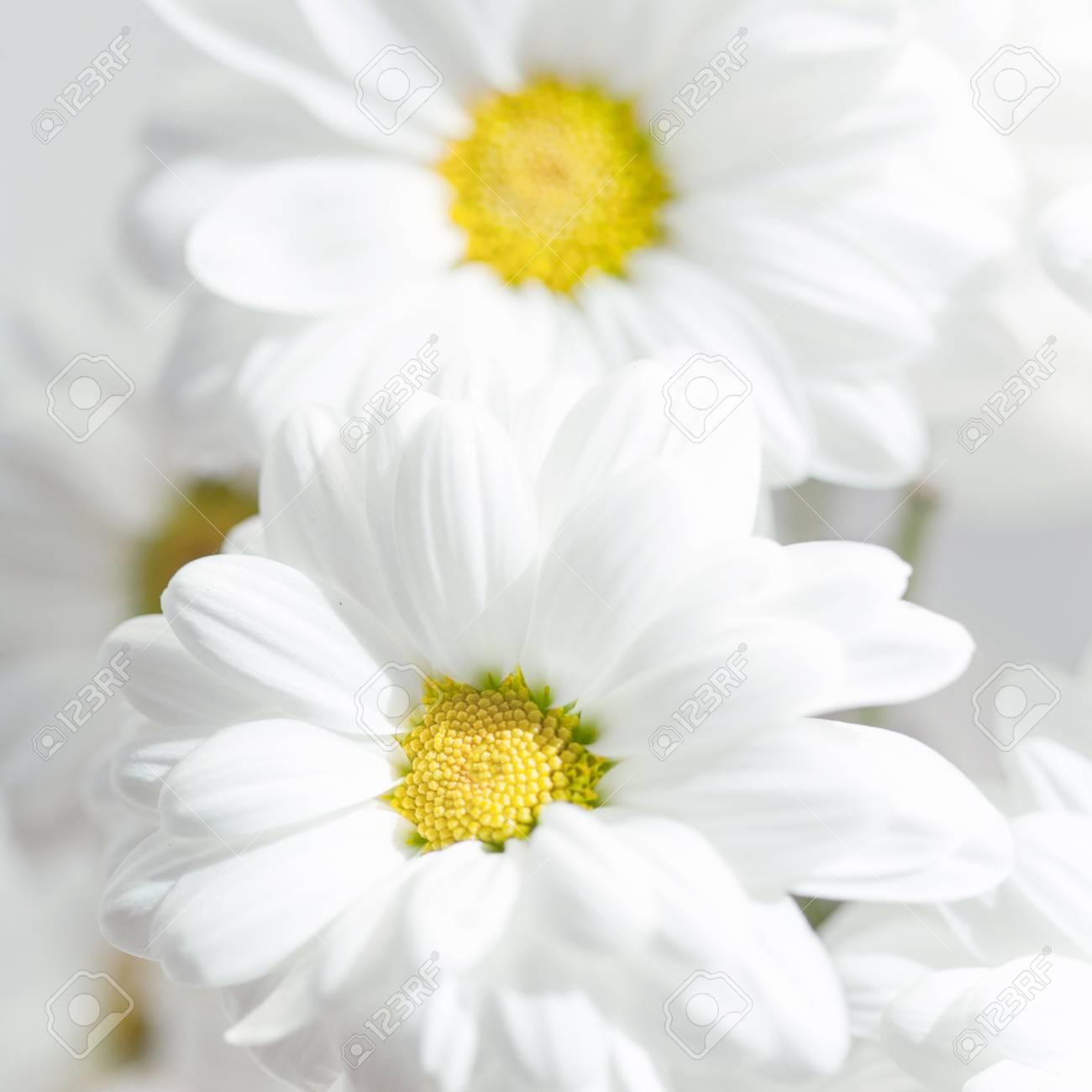 Permalink to White Daisy Flower Wallpaper