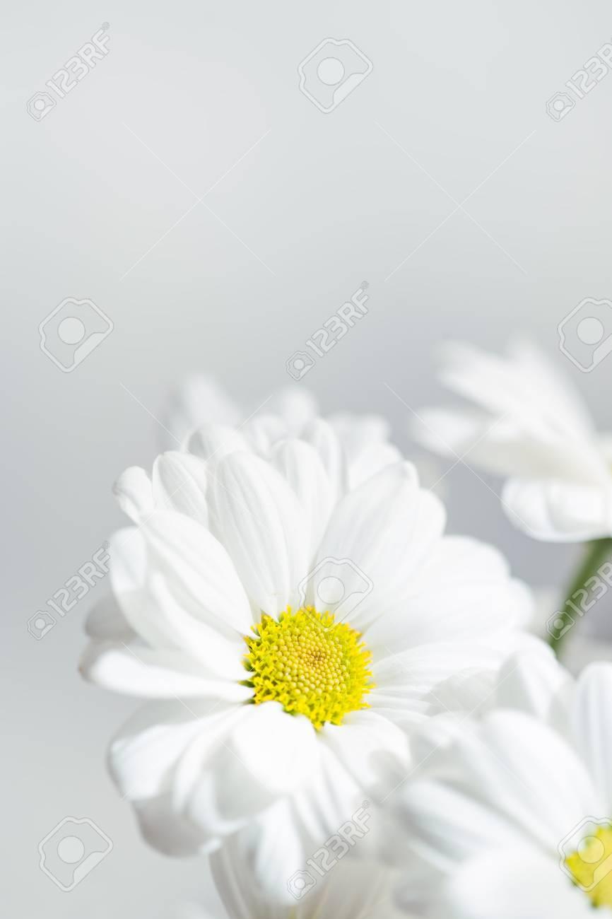 Spring flowers wallpaper white gerbera flower or daisy flower spring flowers wallpaper white gerbera flower or daisy flower on grey background close up stock mightylinksfo