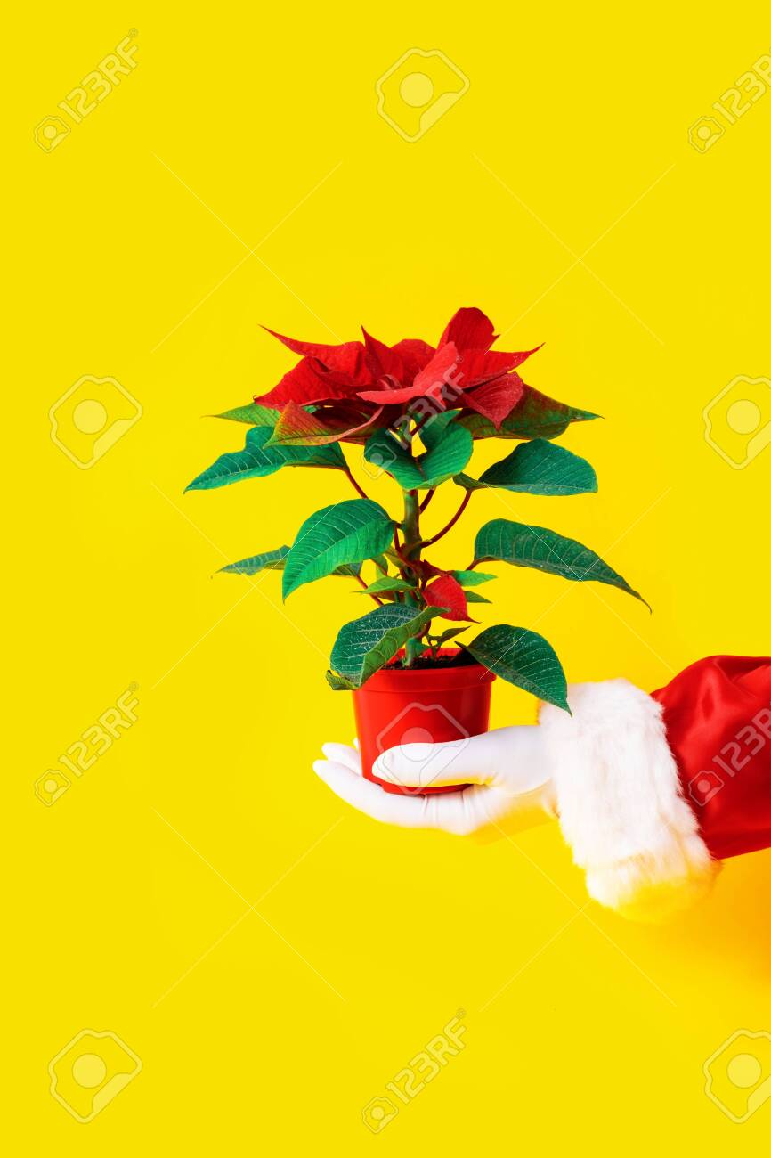 Red Plant Of Poinsettia On Yellow Background In Red Vase Santa Stock Photo Picture And Royalty Free Image Image 135898612