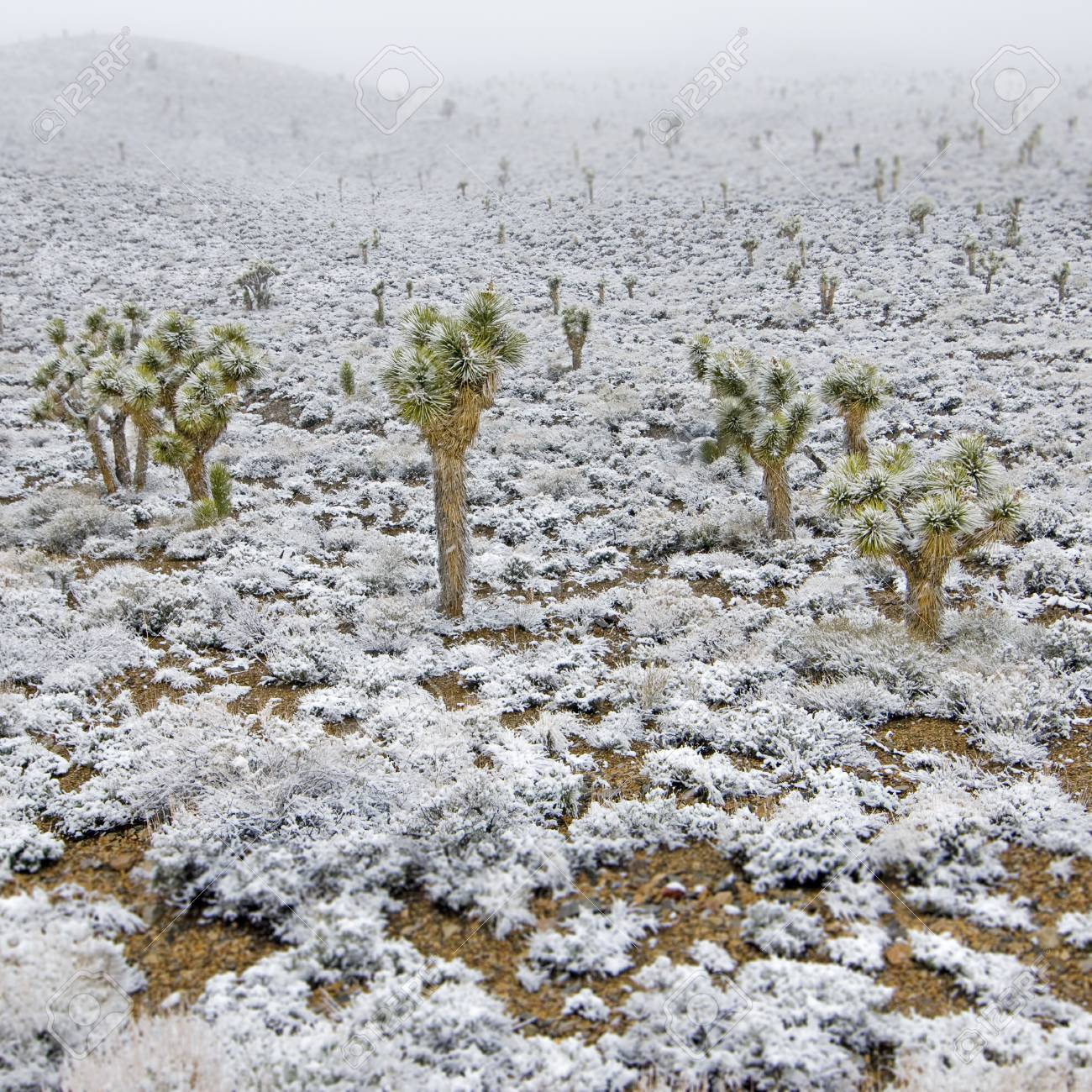 Snow Covered Joshua Trees In Death Valley National Park California