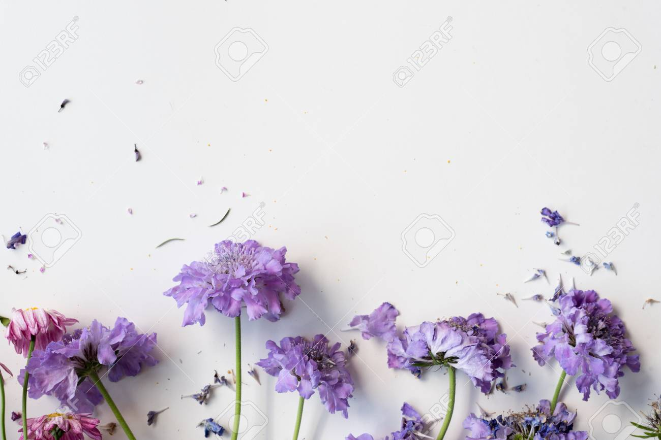 High Angle View Of Wilting Pincushion Flowers Scabiosa On White