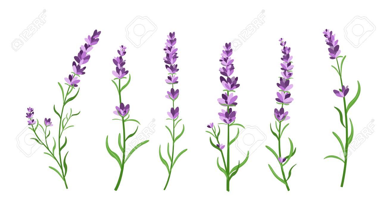 Vector Illustration Set Of Lavender Flowers Elements Botanical