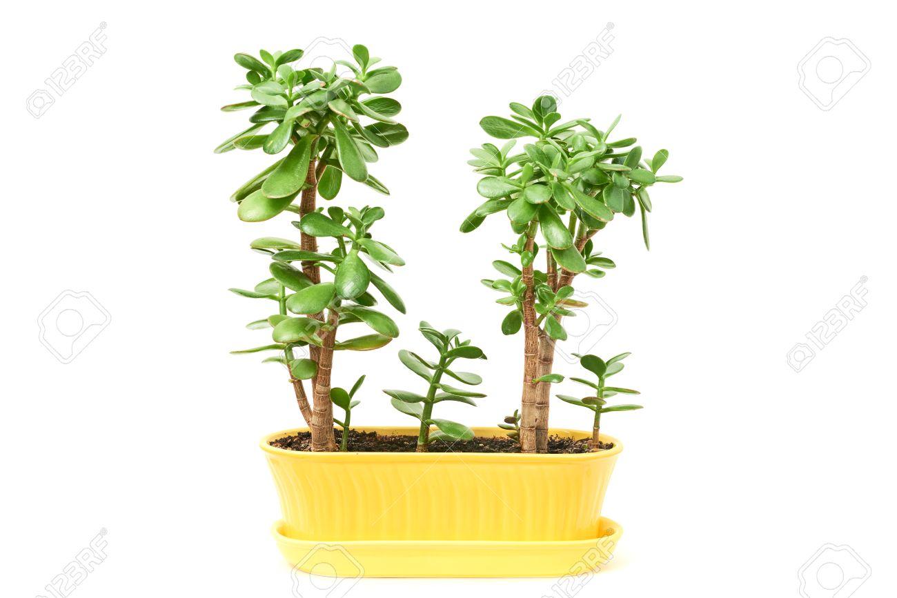 Crassula Flowers Succulent Plant In Yellow Ceramic Pot Isolated