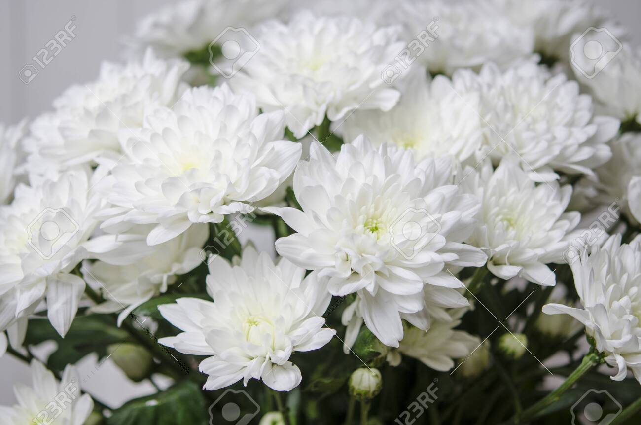 Large bouquet of white chrysanthemums with green stalks stands against a white wooden wall - 120905656