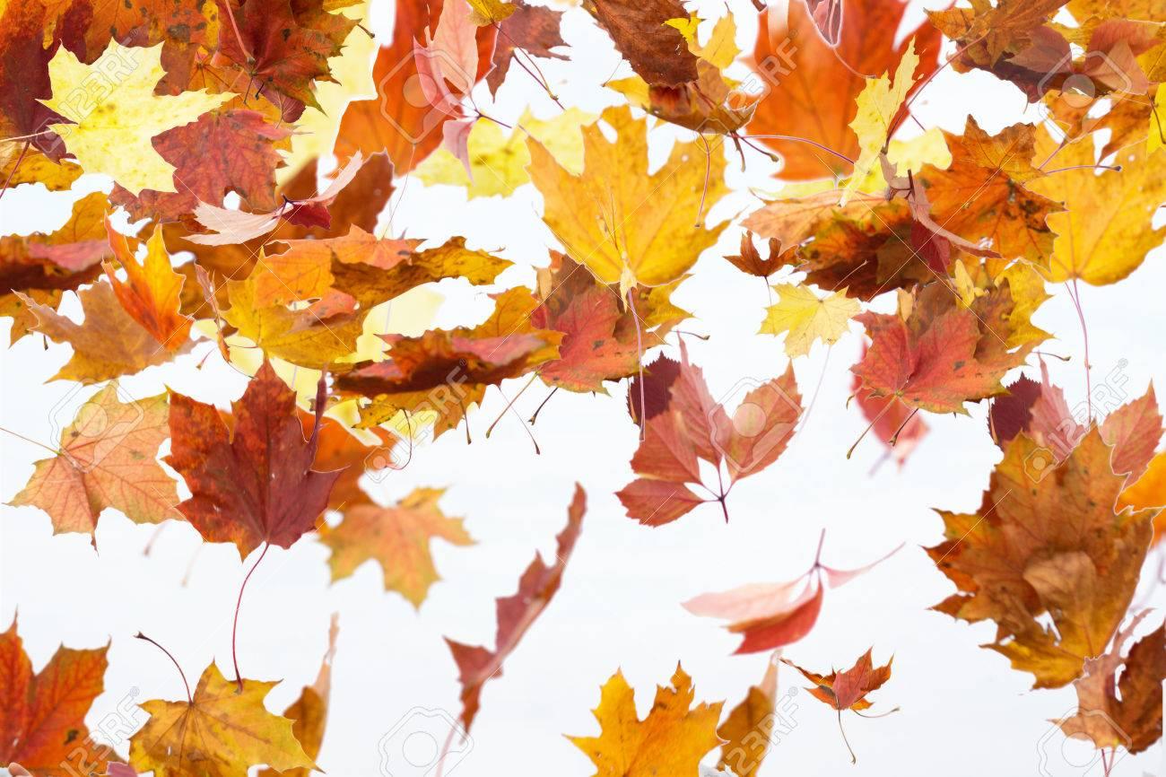 Herbst Blatter Fallen Ahorn Herbst Fallenden Blatter Isoliert Auf