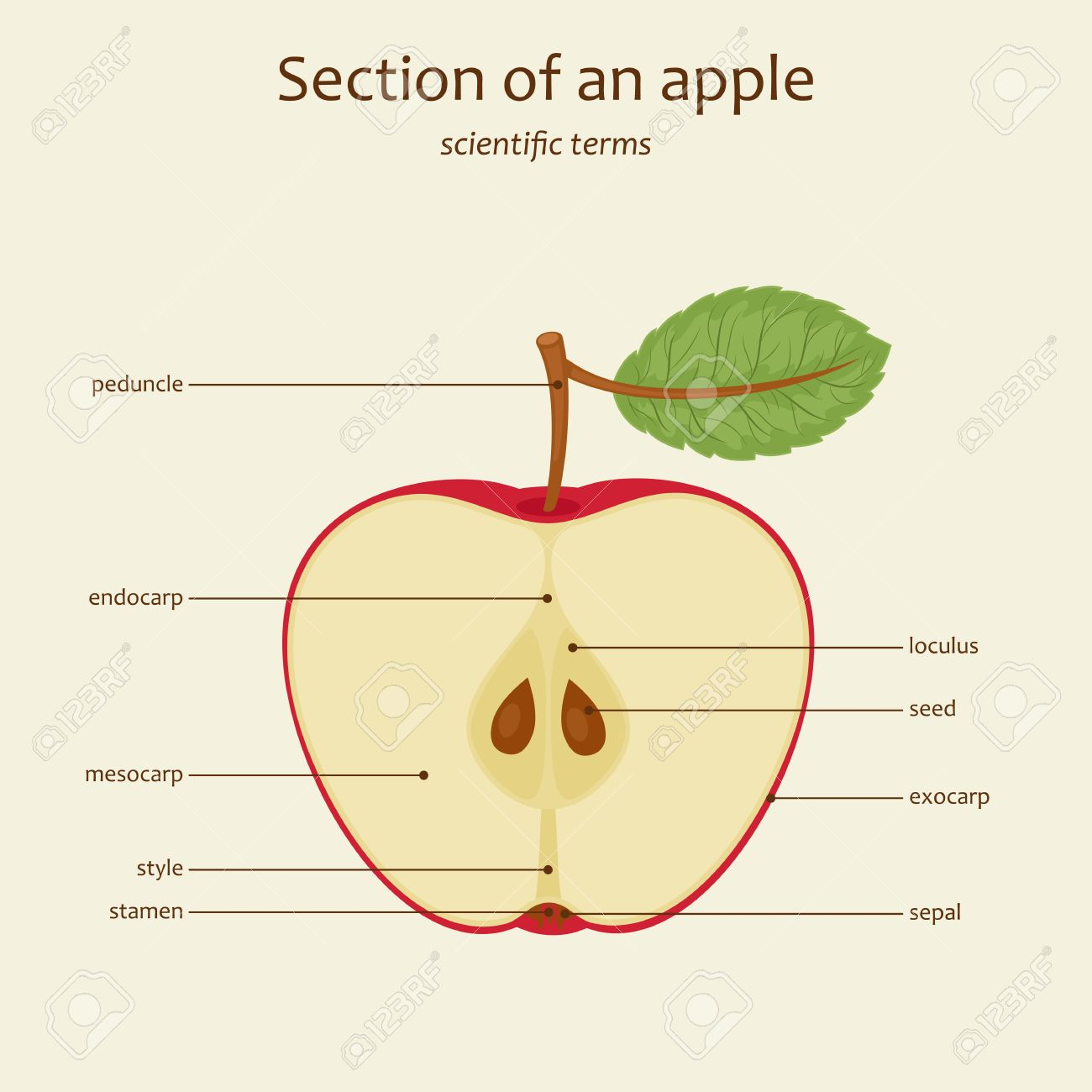 section of an apple apple parts names study guide vector