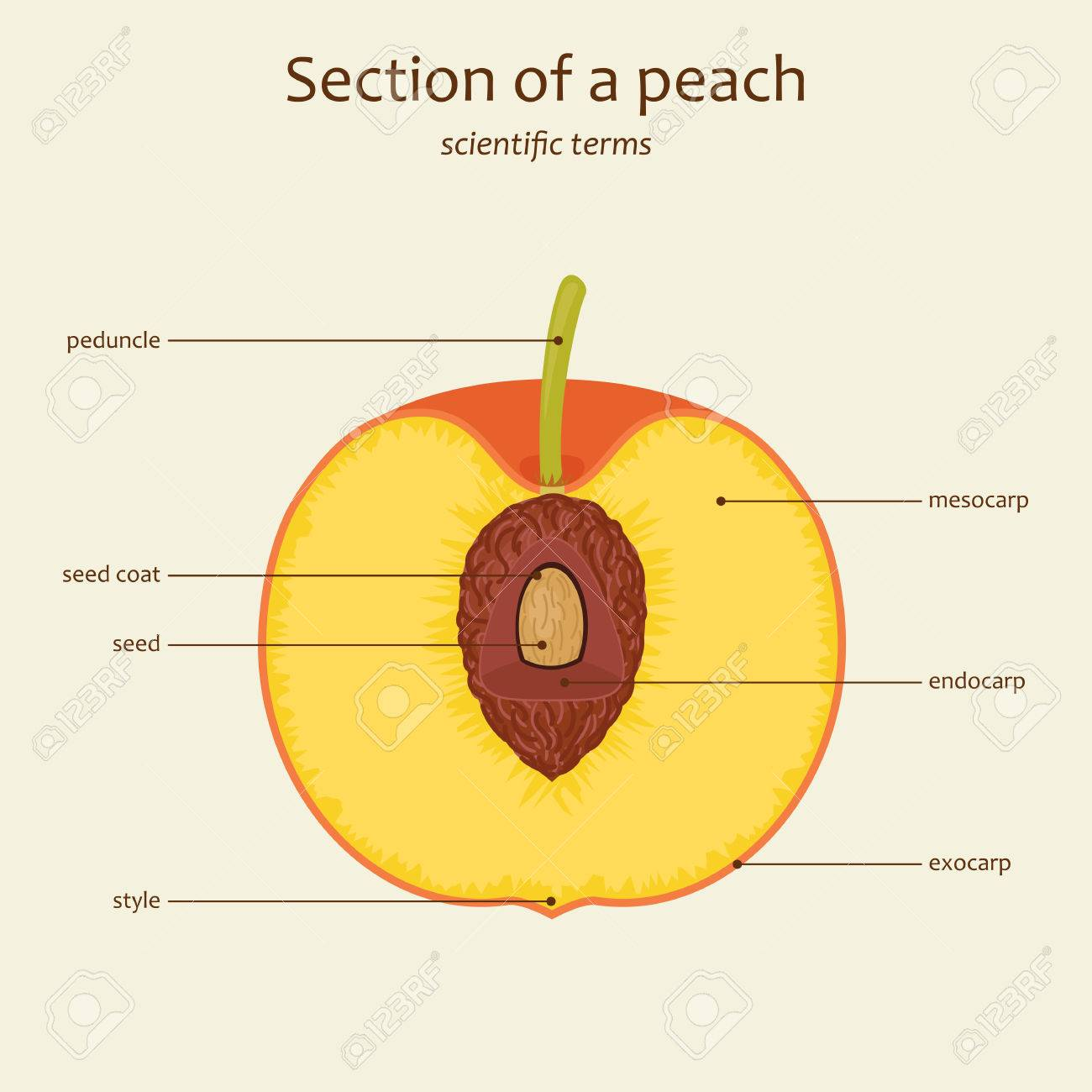 section of a peach peach parts names study guide vector