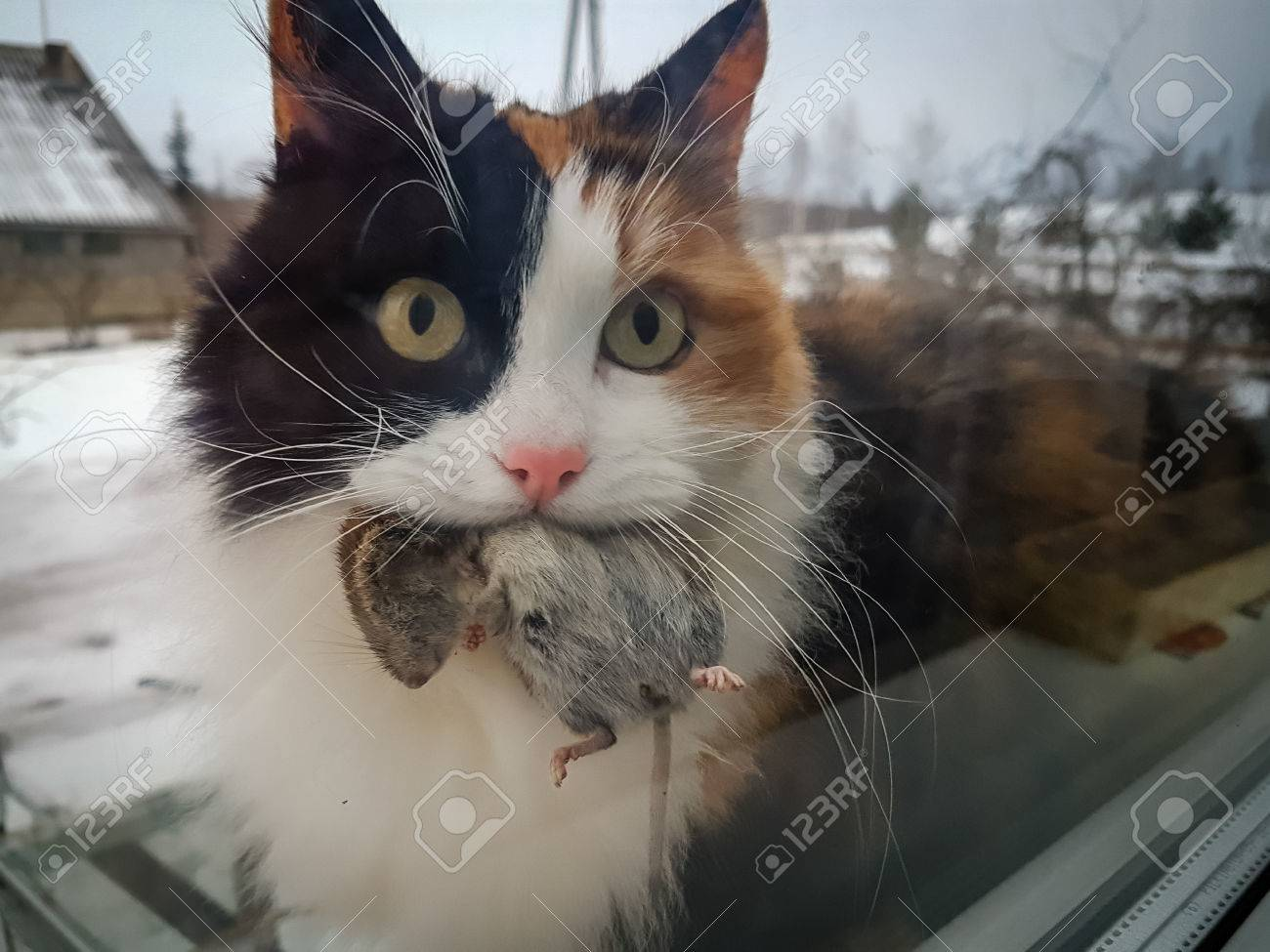 calico cat holding dead mouse in the mouth stock photo picture and