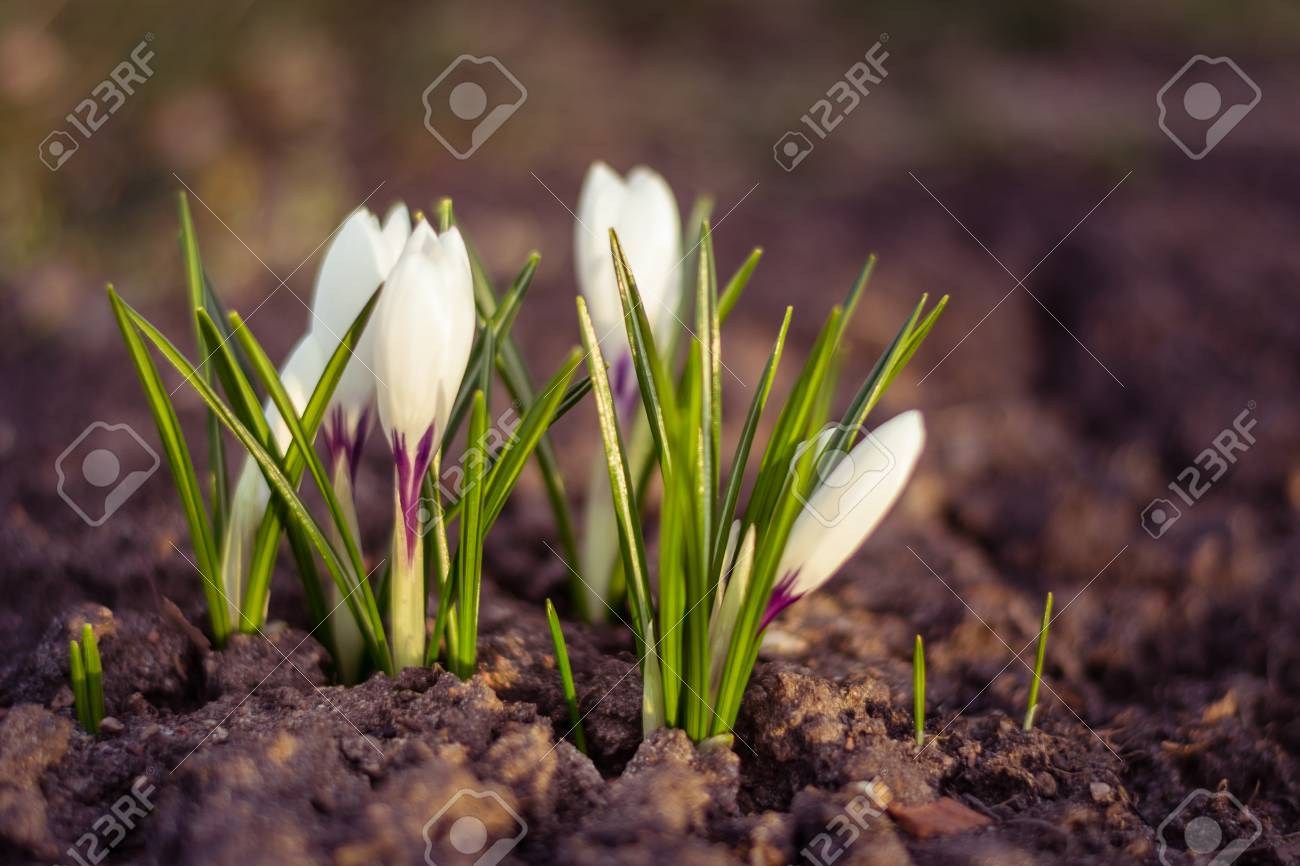White Crocus Close Up Over Empty Ground In Spring Symbol Of Stock