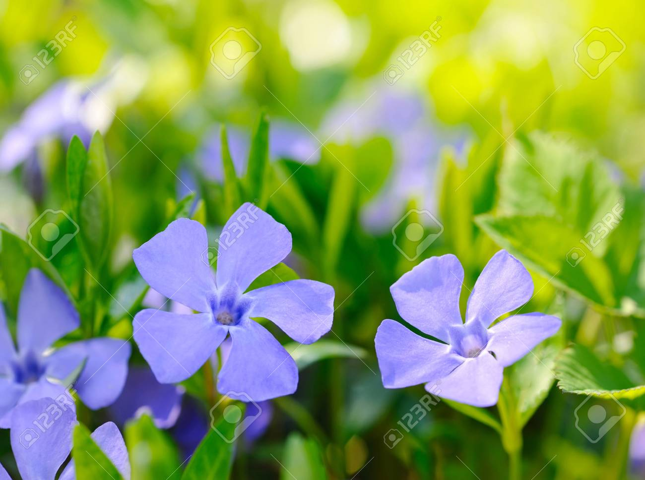 Periwinkle Vinca Blue Spring Flowers In The Forest Stock Photo