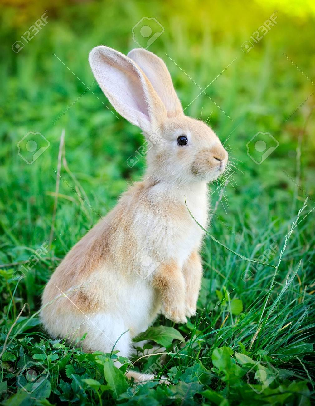 Little Rabbit Standing On Hind Legs In The Grass Stock Photo