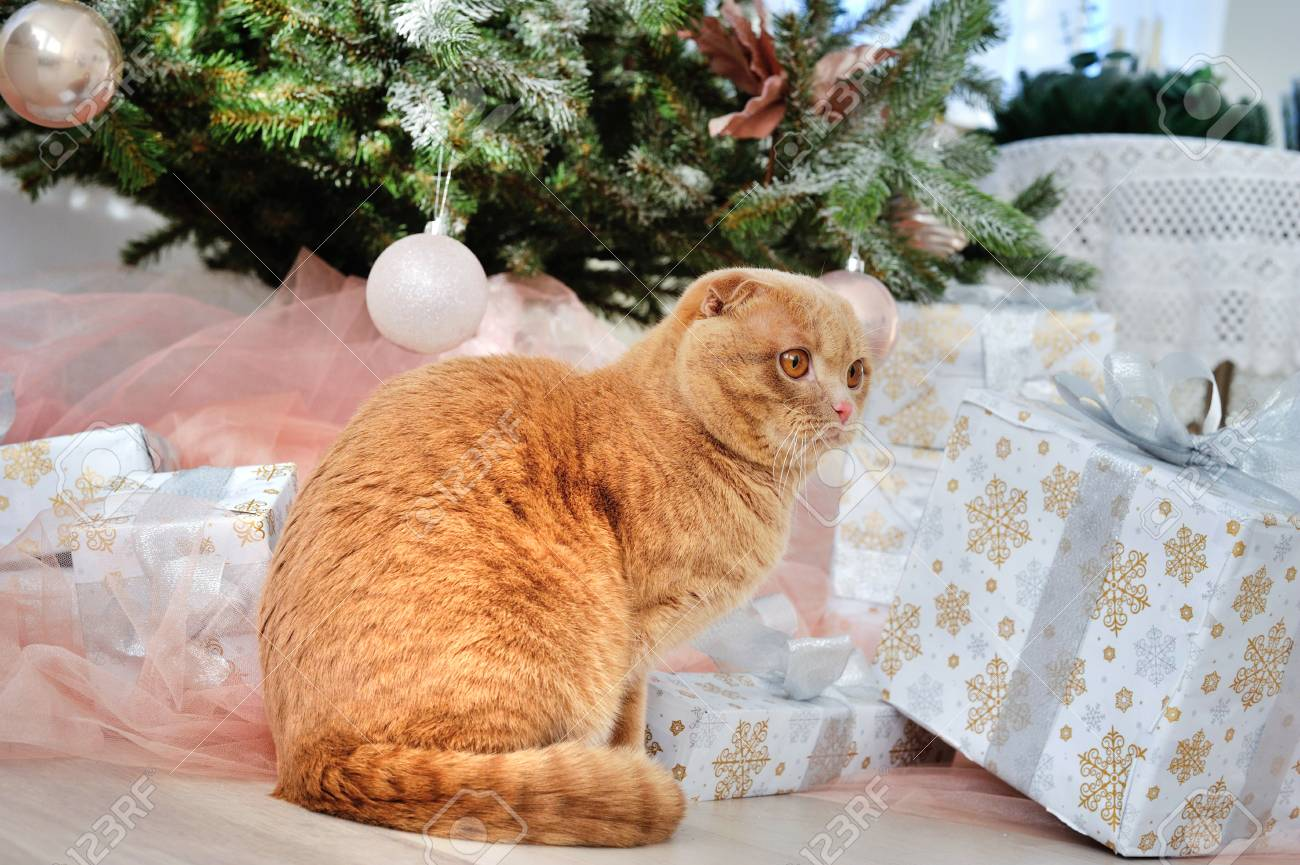 Domestic Cat Scottish Fold Close-up With Gifts Under The Christmas ...