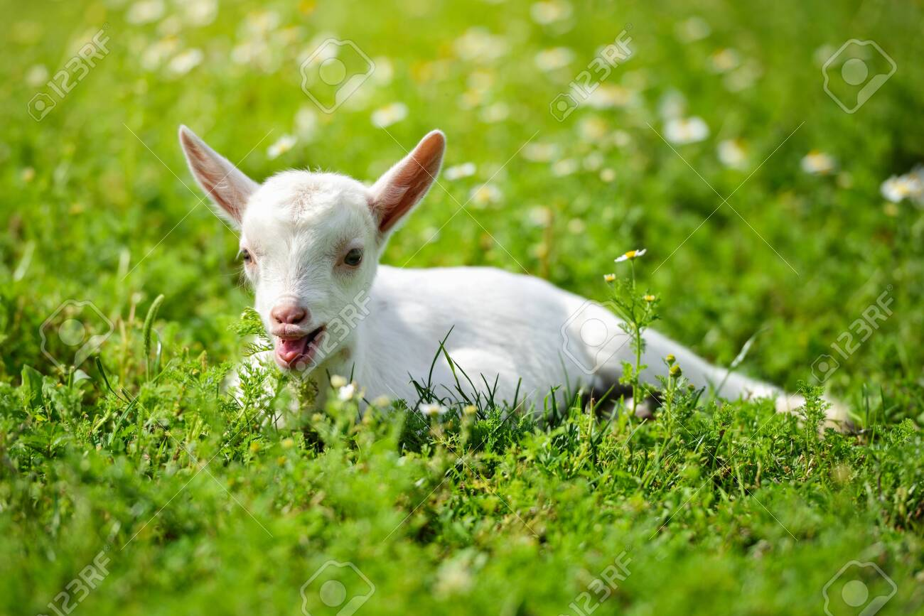 White little goat resting on green grass with daisy flowers on a sunny day - 147263108