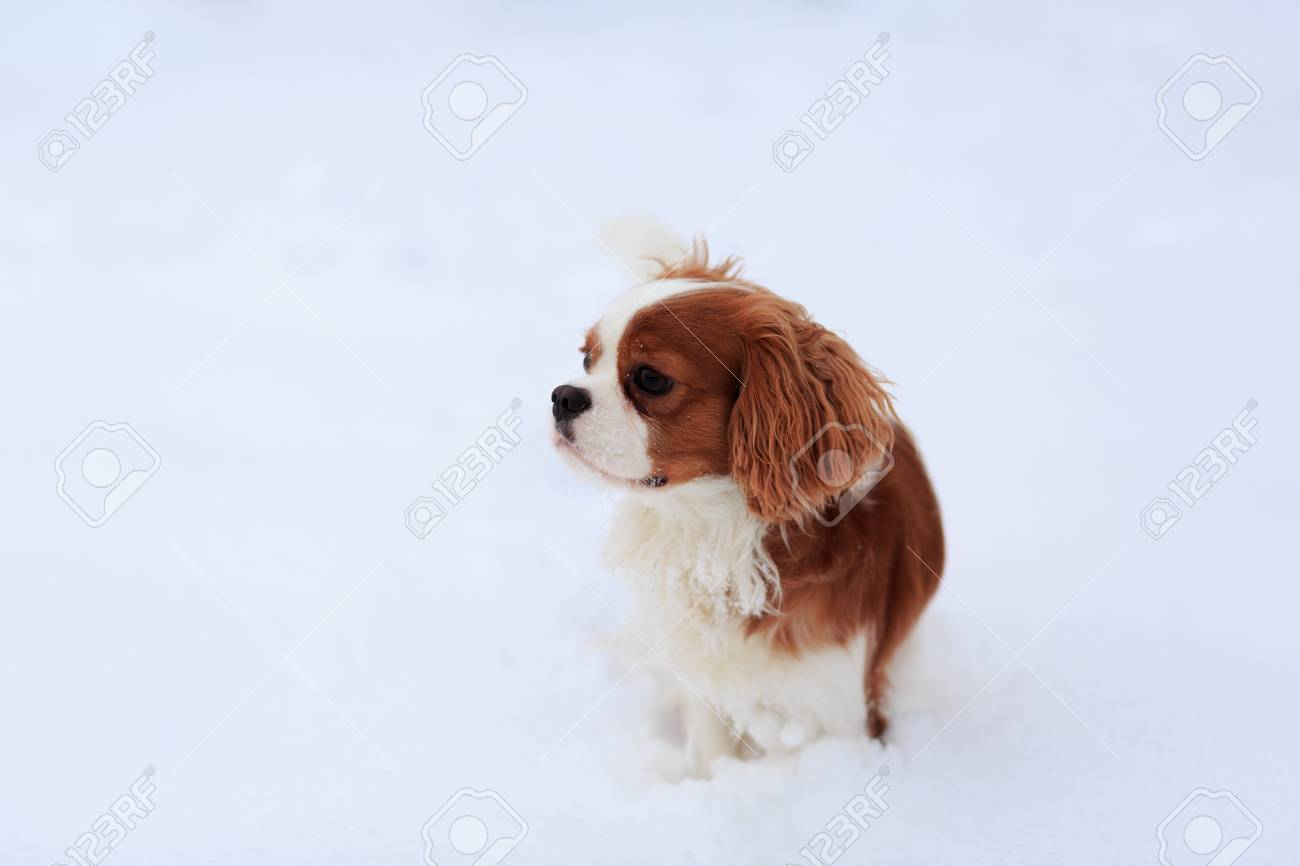 The Dog A King Charles Spaniel Goes On Snow A Dog A Symbol