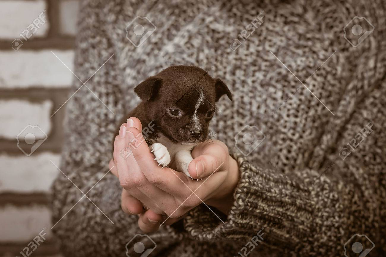 girl holding a chihuahua puppy. studio - 36760125