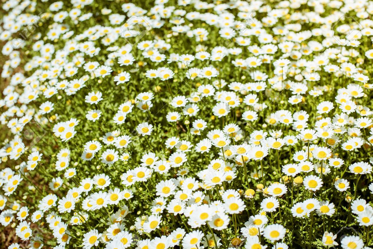 White camomiles on green field - 133387097