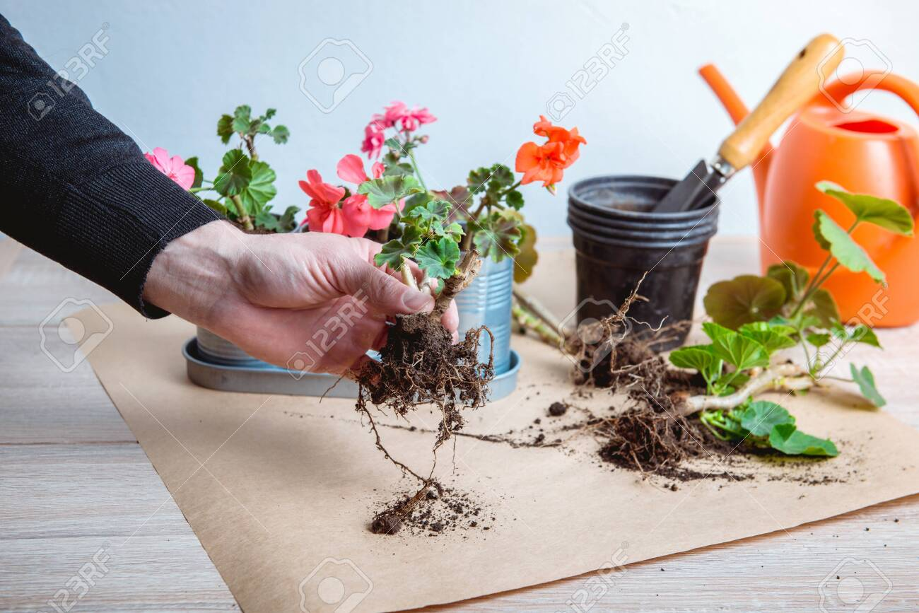 geranium in a pot, transplanting potted flowers - 135094230