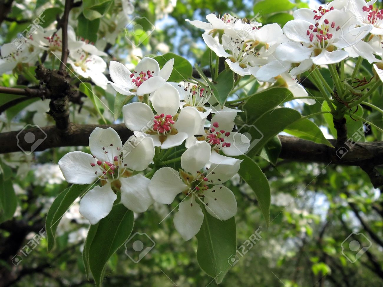Fruit Tree Blooms White Flowers In Spring Stock Photo Picture And