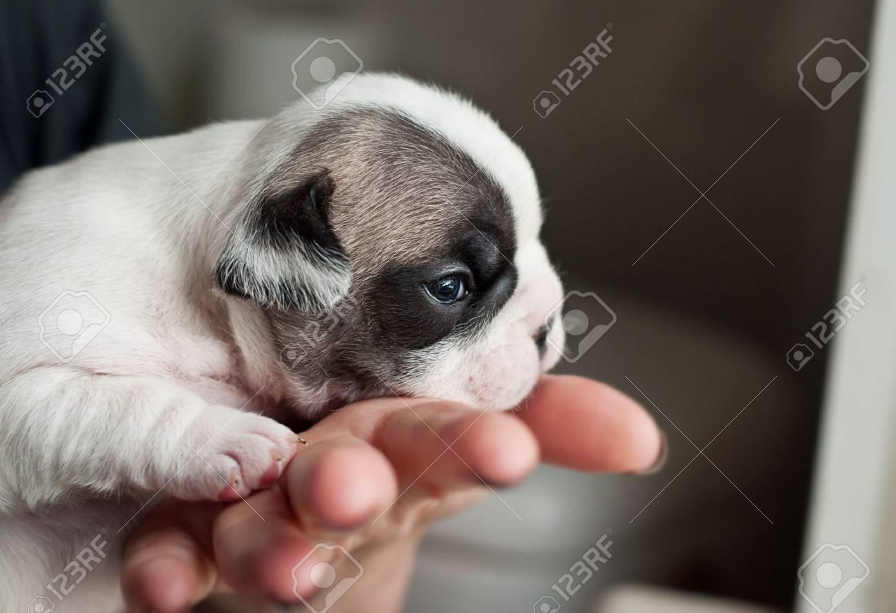 Cachorro De Bulldog Francés Recién Nacido En Mano De Mujer Fotos