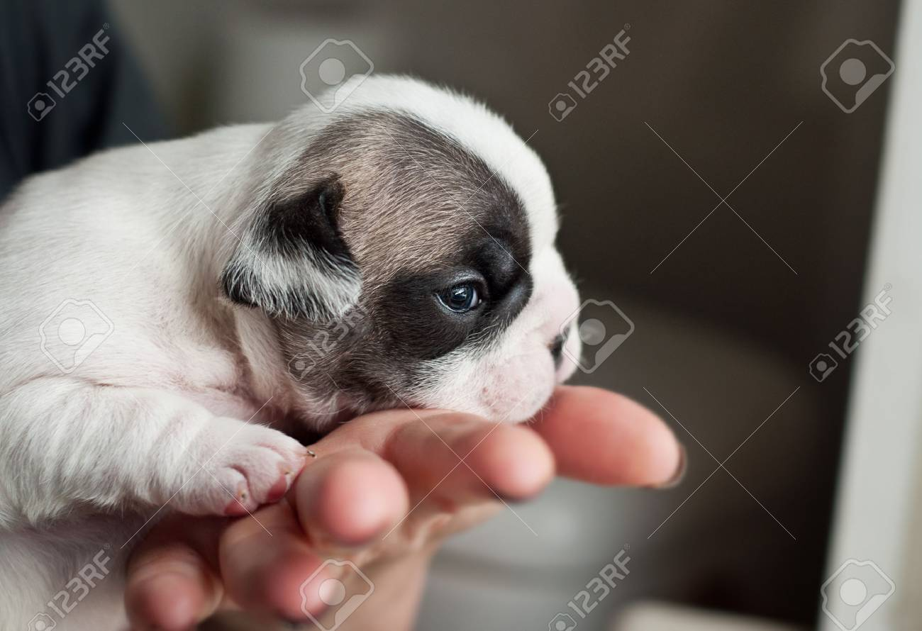 Newborn French Bulldog Puppy In Woman Hand Stock Photo Picture And Royalty Free Image Image 71735661