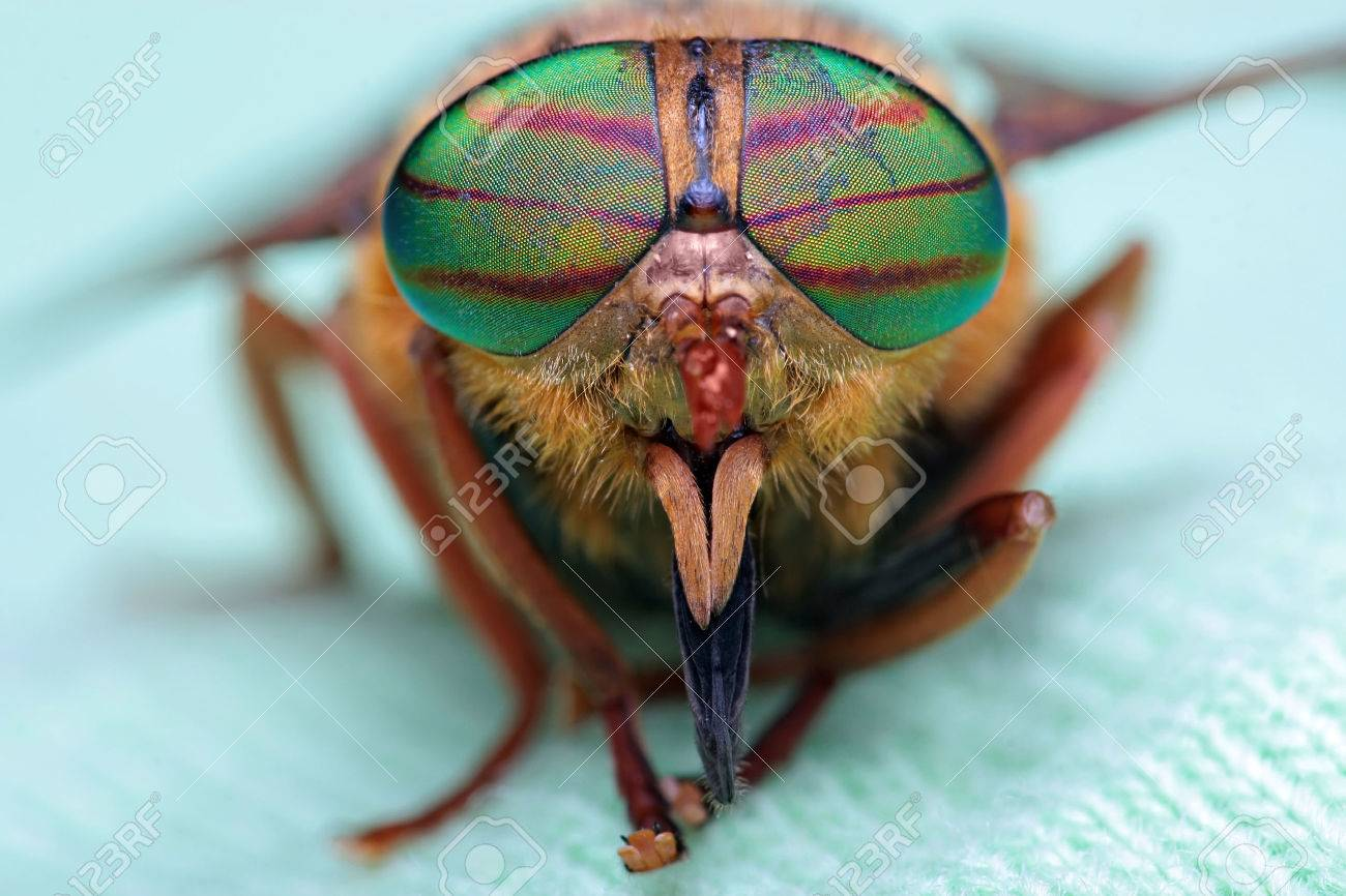 Eyes of an insect  Portrait of a Gadfly Hybomitra horse fly head