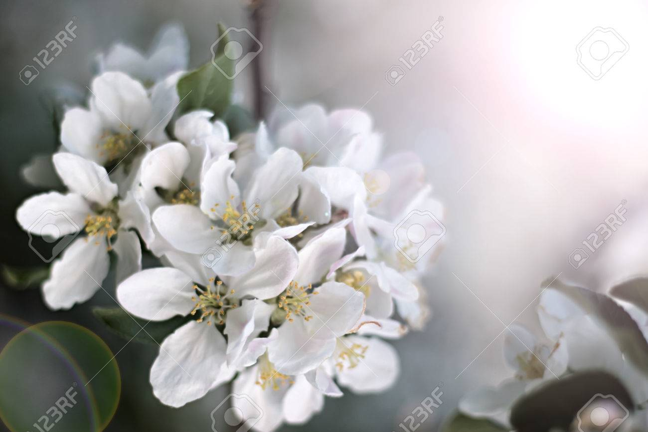Dazzling White Flower Blossoms With Pink Unopened Bud Adorn A