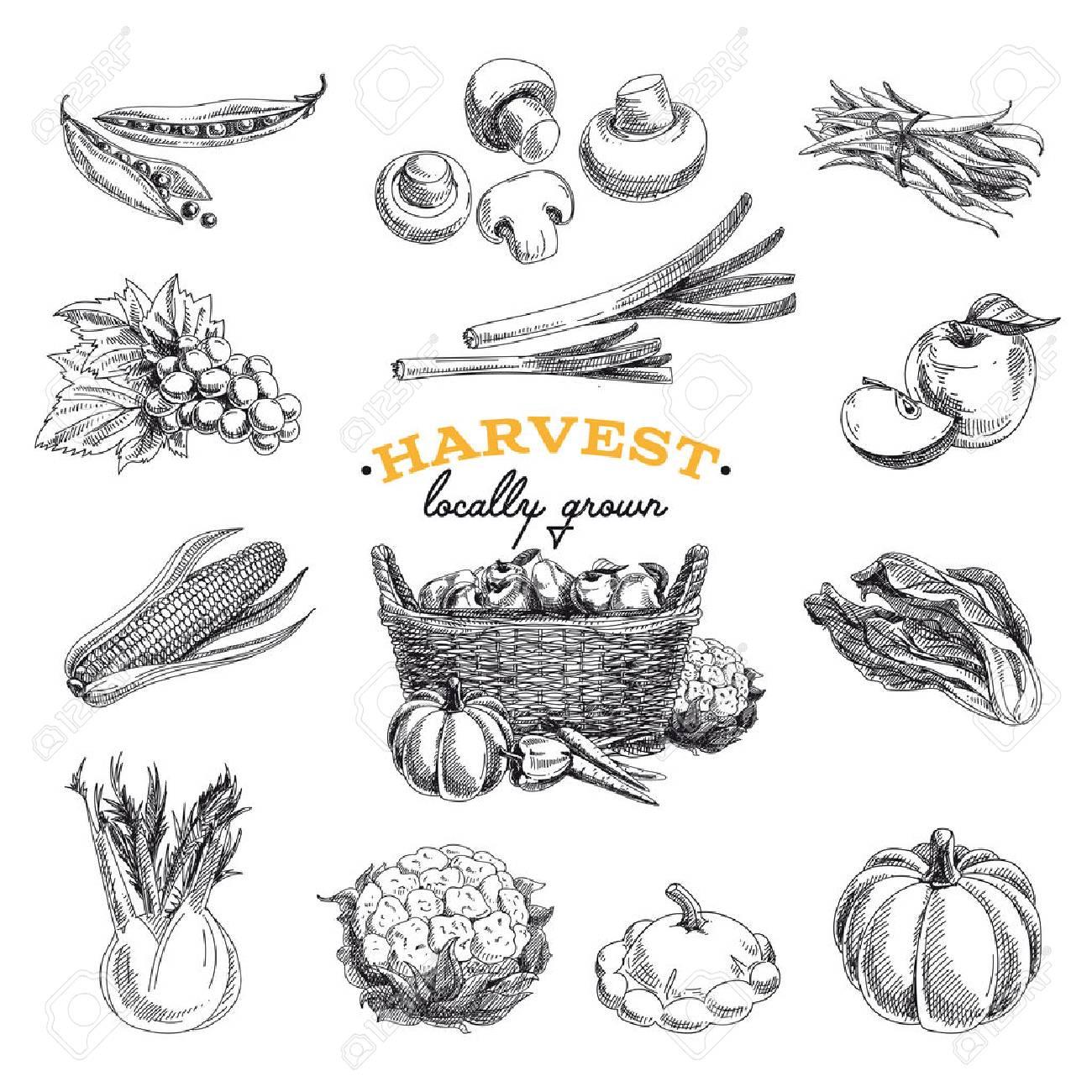 Vector hand drawn sketch Harvest set. Eco foods.Vector illustration. - 49425289