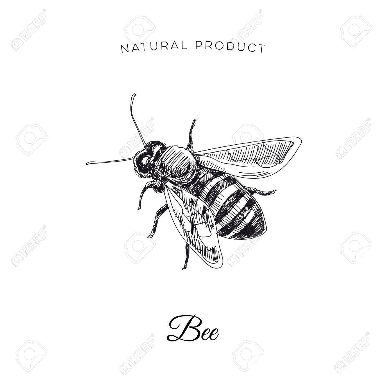 Vector hand drawn honey bee Illustration. Sketch vintage style. Design template. Retro background. - 75684158