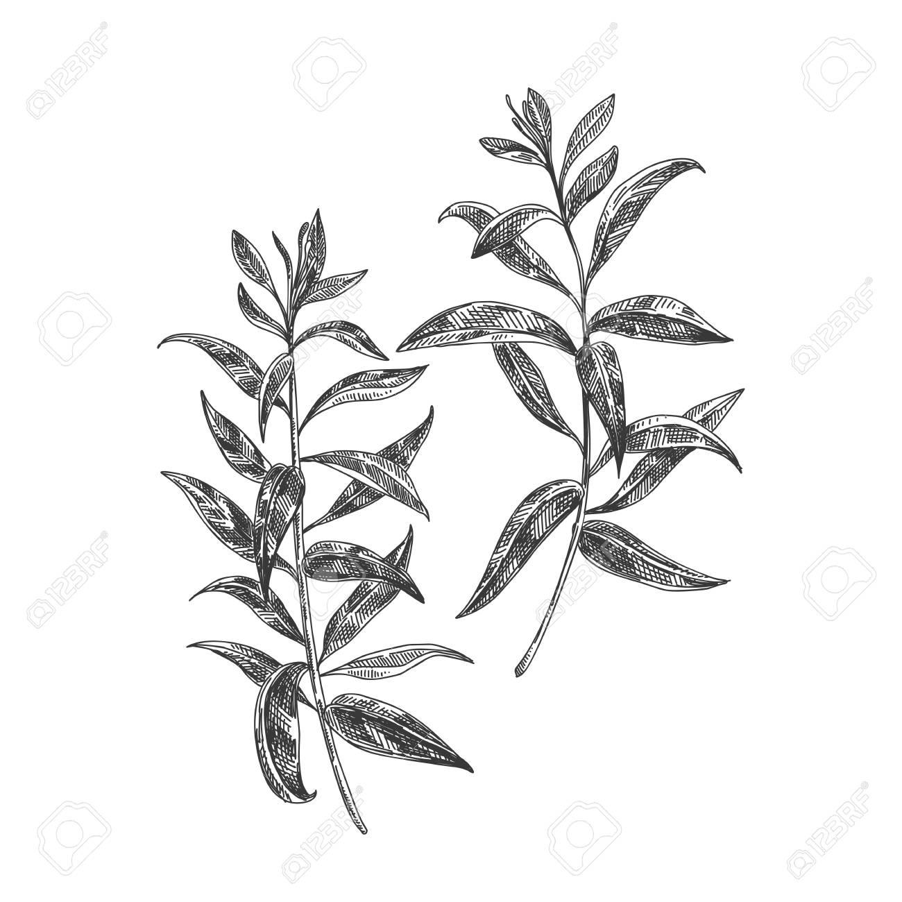 Beautiful vector hand drawn lemon verbena tea herb Illustration. Detailed retro style images. Vintage sketch element for labels, packaging and cards design. - 94854881