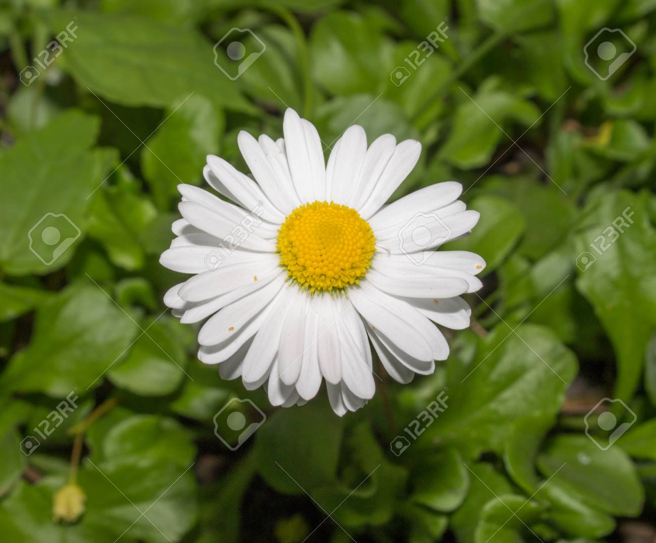 Chamomile Small White Flowers With A Yellow Middle On Green Stock