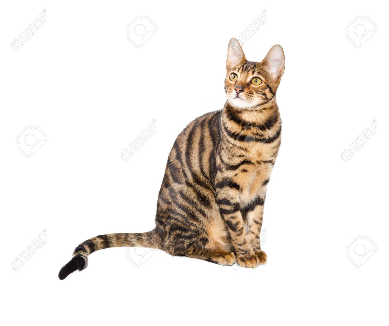 Cat Breed Toyger Isolated White Background Toy Tiger Stock